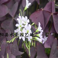 紫叶酢浆草,紫叶酢浆草价格,紫叶酢浆草供应,紫叶酢浆草图片