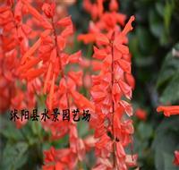 江苏一串红,爆仗红西洋红 一串红种子批发 一串红苗批发