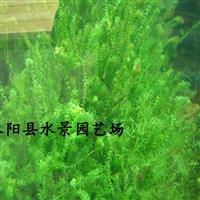 江苏伊乐藻 水生植物批发 伊乐藻价格 大量批发伊乐藻