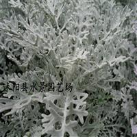 江苏银叶菊,雪叶菊供应,银叶菊价格 大量银叶菊批发