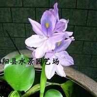 大量供应雨久花 蓝花菜供应 雨久花价格 水生植物价格 批发