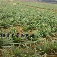 江苏玉龙草,玉龙草价格,玉龙草图片,供应玉龙草