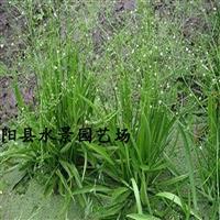 窄叶泽泻,窄叶泽泻价格,窄叶泽泻供应,窄叶泽泻图片