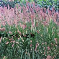 江苏紫穗狼尾草,紫穗狼尾草供应,紫穗狼尾草价格 狼尾草批发