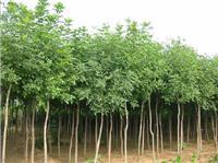 虞北花木专业合作社特价供应七叶树 白花七叶树 红花七叶树