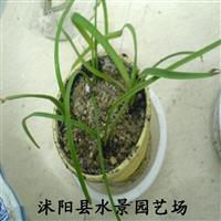 大花韭兰,大花韭兰供应,大花韭兰价格
