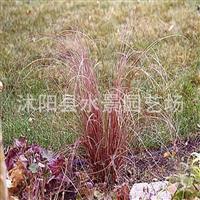 供应棕红苔草 也叫枯草 金叶苔草 细叶针芒 观赏草 水生植物