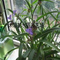 供应紫露草 紫鸭趾草 紫叶草
