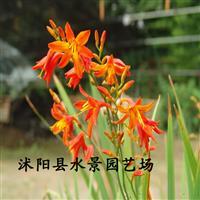 供应火星花 观赏草 宿根花卉 水景园艺承销 大量批发