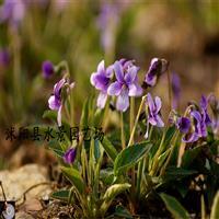 供应紫花地丁、独行虎 苏北园林承销 大量批发紫花地丁