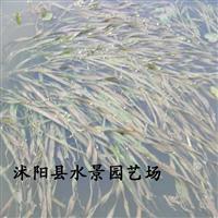 江苏苦草 黑藻 落叶黑藻 金鱼藻 苦草价格 水生植物大量批发