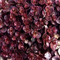 供应红叶景天 八宝景天 水景园艺承销 大量批发红叶景天