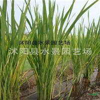 供应水生植物 野茭白 (水笋、茭白笋、脚白笋、菰、菰菜 、高
