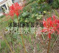 大量供应石蒜 彼岸花 地被苗木 水生植物 红花石蒜种球