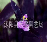 供应紫叶鸭趾草(别名鸭跖草、兰花草)水生植物 紫叶鸭跖草基地