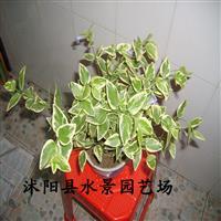 供应花叶蔓常春藤 缠绕长春花、蔓长春花