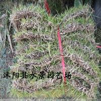 马尼拉,马尼拉草,沟叶结缕草、半细叶结缕草、小芝I型结缕草