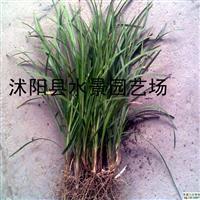 麦冬草,麦冬,沿阶草,麦冬草供应,麦冬草价格