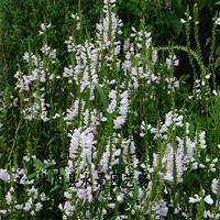 供应假龙头 棉铃花、承销,水生植物,地被植物