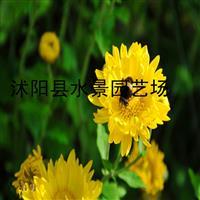 供应菊花 亚菊 地被菊 黄金菊 大花金鸡菊 荷兰菊
