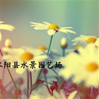 供应小菊,西洋甘菊 小菊价格 地被植物 水生植物
