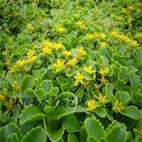 供应三七景天 八宝景天 地被植物 水生植物 大量批发