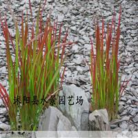供应日本血草,日本血草大量批发 观赏草批发 江苏血草