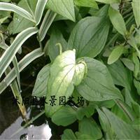 江苏三白草 大量批发 三白草价格 三百草种子