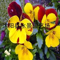 供应三色堇 蝴蝶花 三色堇价格 三色堇图片