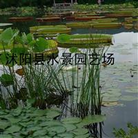 江苏水葱供应 水生植物批发 花叶水葱价格 水葱图片