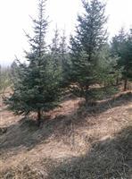 低价处理:云杉1.5--4米,樟子松2米,数量有限