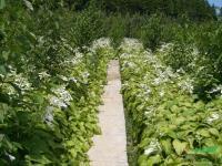 玉簪-玉簪花-紫玉簪-玉簪花苗-紫花玉簪-地被植物-紫萼玉簪