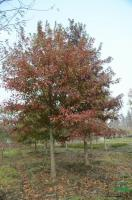 纳塔栎图片5