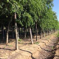 榉树,2015年榉树价格,榉树供应,榉树图片