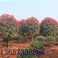 湖南红叶石楠3-5-6-8-10-12-15公分红叶石楠树