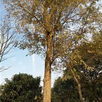 各个规格榉树 榉树价格 榉树图片信息