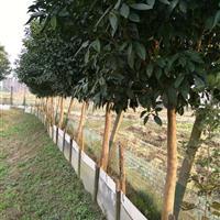 移栽柚子树 香泡树 浙江柚子树 移栽柚子树价格