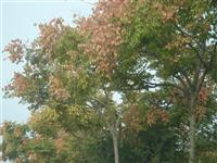 胸径3公分栾树价格 胸径3公分栾树价格供应_山西地区栾树基地