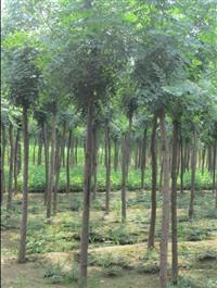山西地区供应胸径3公分栾树价格 山西地区供应胸径5公分栾树价