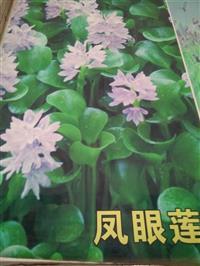 杭州萧山大量供应水葫芦2000万棵