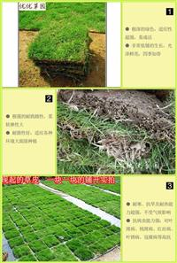 马尼拉 草皮 草坪 草种耐寒耐踏 果岭草 带土
