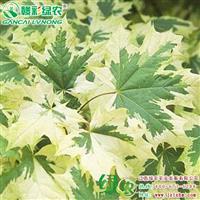 花叶挪威槭小苗出售 观赏价值高 品种优良 江西绿农供应