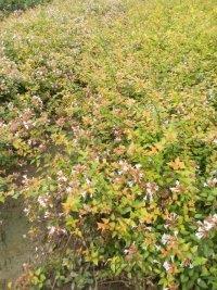 【江苏草花基地批发】大花六道木,地被石竹,鼠尾草,荷兰菊等