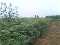 高度1米栾树苗价格 栾树高度2米价格供应山西地区栾树苗
