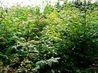 米径1-3公分栾树价格 米径3-6公分栾树价格供应_山西地区