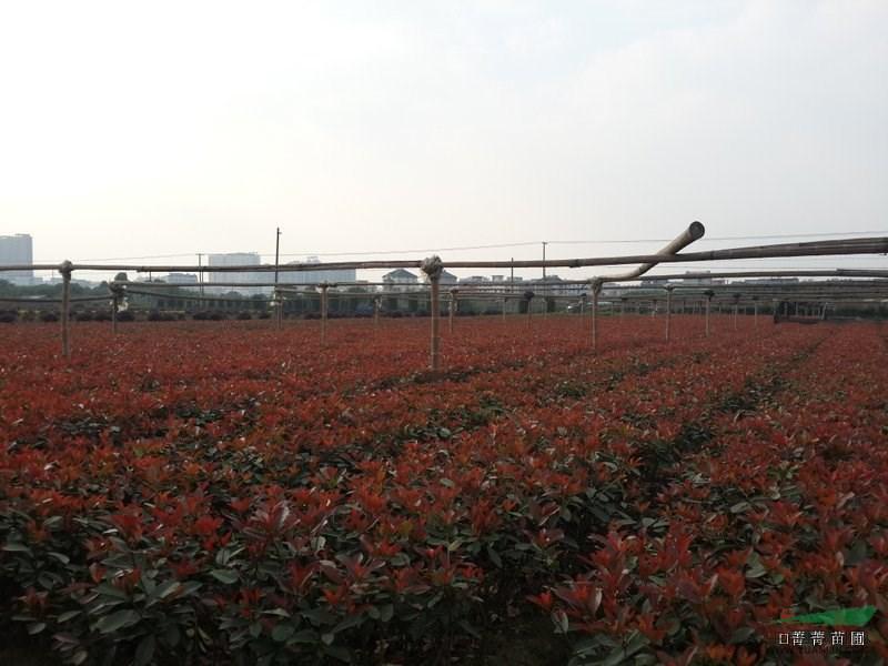 本苗圃是位于中国花木之乡--浙江萧山新街镇,依托萧山本地的苗木产业优势而立足市场,经过十几年的发展,拥有200多亩的苗木培植基地,能及时为客户解决配货的繁琐,我们将为您提供最优惠的价格,并期待与广大客户的合作!本园艺场主营:垂丝海棠、龟甲冬青、杜鹃、月季、紫薇、蜀桧、紫荆、红花继木、红叶石楠、金森女贞等花灌木和色块类。