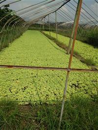 杭州萧山供应水菖蒲2000千万芽,专业配送各个省地区。