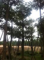 福建盆架子 精品盆架木 大量供应