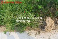 安徽花石榴大量供应P50-150冠副 低价供应商