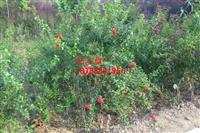 安徽花石榴、肥西花石榴、肥西花石榴价格、肥西苗木基地